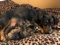 Beautiful Miniature smooth dachshund puppies