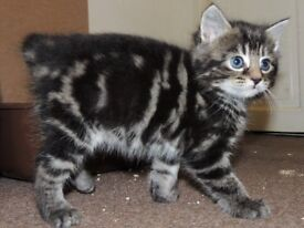 Adorable Siberian X kittens