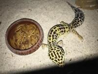 Gecko an vavarium