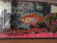 Goldfish with tank, pump and accessories