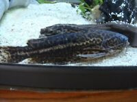 Jaguar catfish ( Liosomadoras oncinus )