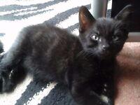 Black short haired Kitten for sale
