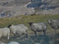 Land wanted for sheep