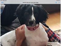 Springer Spaniel Pups (Armagh)