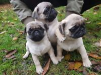 Pug Puppies for sale one boy and a girl left
