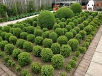 "Home grown box ball plants (Buxus sempervirens) 20cm (8"") dia from £15 each. Other sizes available"