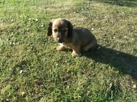 Dachshund mini long-haired male puppy for sale
