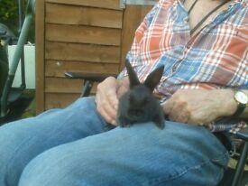 Black baby buck rabbit ready now