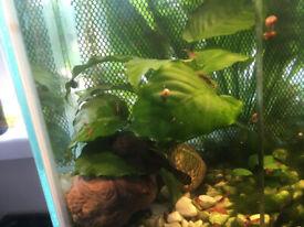 Bristlenose plecos, cherry shrimp and plants for sale