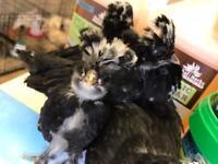 White crested black polish Pullets