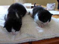Lovely 3 week old kittens, ready in 5 weeks