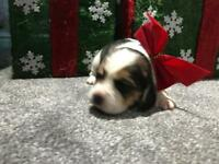 Beagle puppies KC Reg