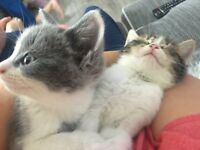 2 girl kittens for sale must go together