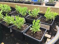 White lavender plants