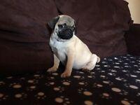 Pug boy pedigree