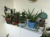 Various house garden plants aloe Vera cactus ivy