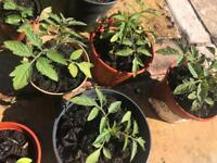 Tomato 🍅 plant with pot
