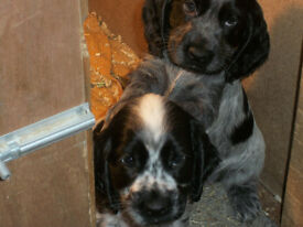 Beautiful Blue Roan Cocker Spaniel Pups