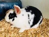 Dwarf Lopps Rabbits for sale