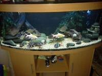 Bala shark and other fish for sale