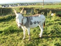 Donkey for sale