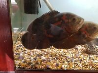 For sale pair tiger Oscars