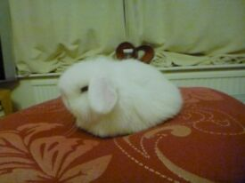 Beautiful BEW (white) minilop bunny - FOR SALE