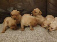 Golden lab pups