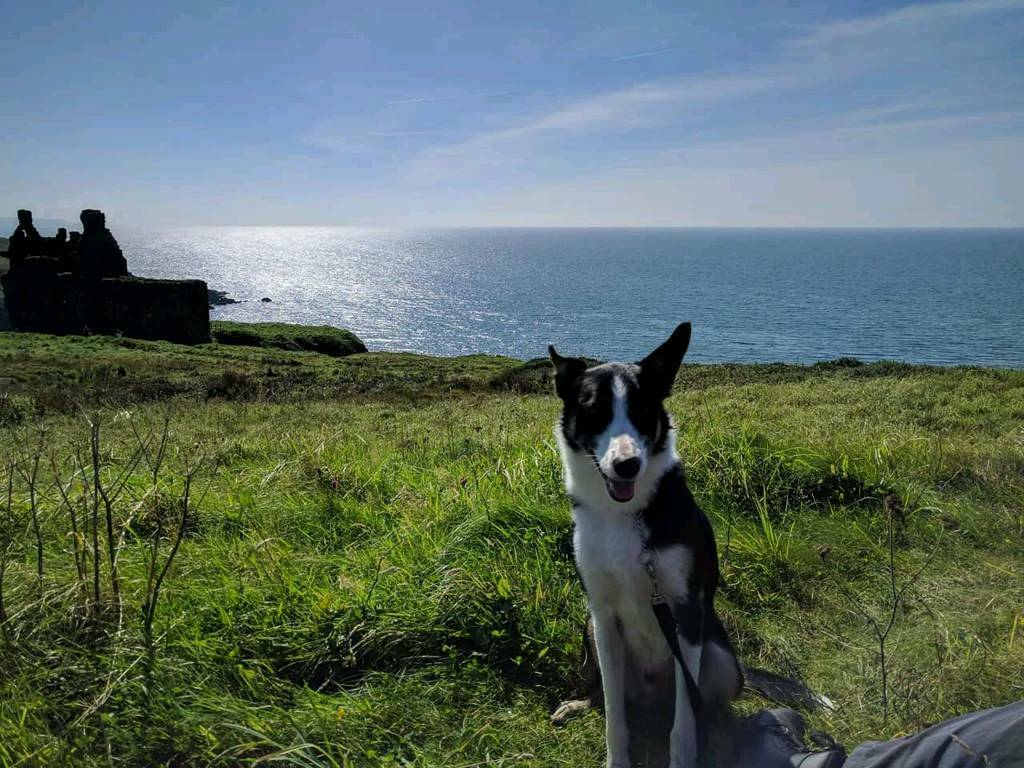 Tri Coloured Collie 2 years old