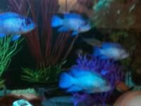 5 blue acaras