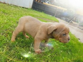 Litter of lilac &tan bulldogs available