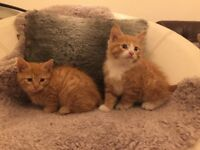 Adorable Ginger Tabbies - Cutest in Town - Ready for new home!