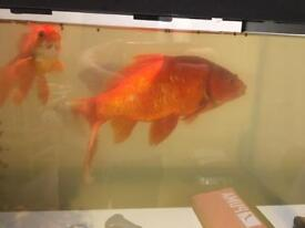 Huge gold fish for sale