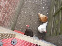 2 lovely chickens - Free to a good home. One Sussex and One Bluebell