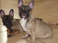 French bulldog bitches triple carriers 5 month old