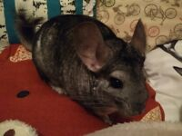 2 Chinchillas, with cage.