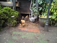 Hens/Chickens