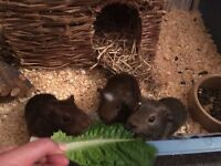 3 gorgeous baby boy Guinea pigs ready to go now