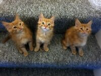 3x Ginger Male Kittens Maine Coon 3/4, British Shorthair 1/4