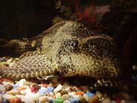 FREE TO GOO HOME- Plecostomus fish