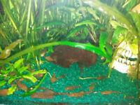 Bristlenose Pleco, Ancistrus, tropical fish