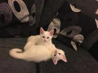 Pure white kittens