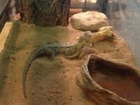 3 year old bearded dragons for Sale
