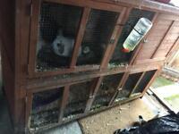 12 week old rabbits