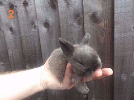 Baby Rabbits for Sale - Some Blue Eyed - Yorkshire Dwarf