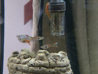 Guppy / Endlers - 50p Adults! Community Tropical Fish