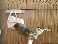 CANARY MULE- BRILLIANT BIRD