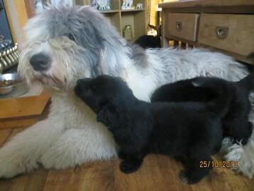 German Shepherd X Old English Sheepdog Puppies