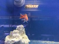 Trio of Scribbled Anthius - marine fish