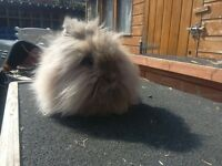 Pure breed Lionheart head rabbits